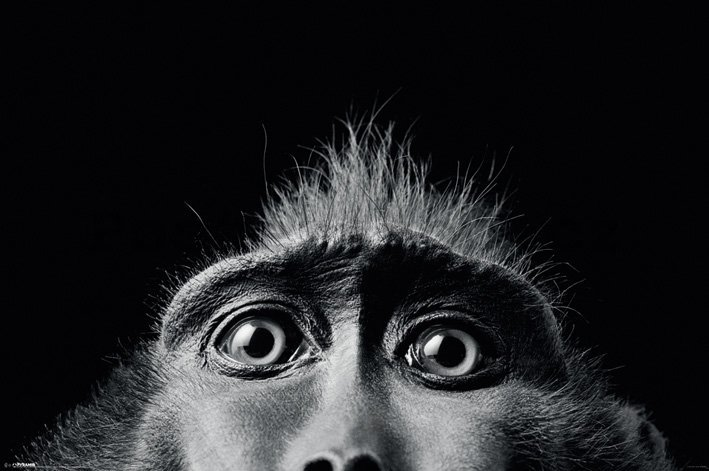 Plakát - Tim Flach (Monkey Eyes)
